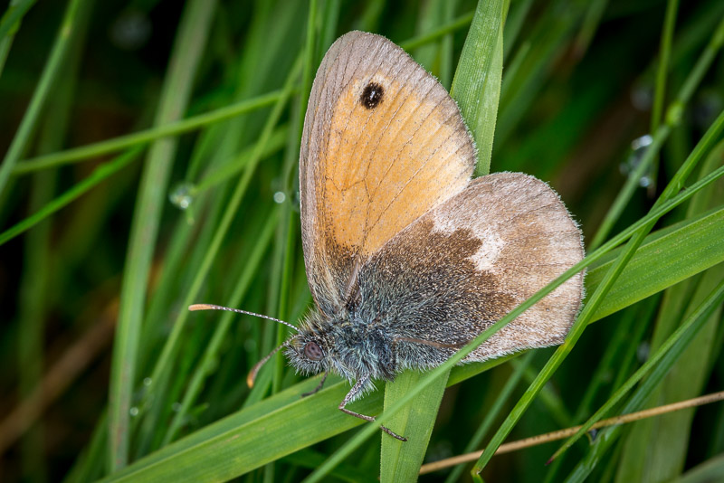 Small Heath (Coenonympha pamphilus) - Lynchcombe, Somerset, UK. ID 823_2449