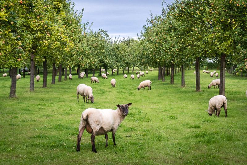 Sheep in an Orchard - Baltonsborough, Somerset, UK. ID DSC_0995