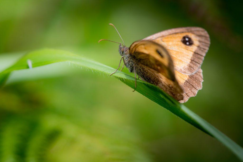 Gatekeeper (Pyronia tithonus) - Lynchcombe, Somerset, UK. ID 823_2531