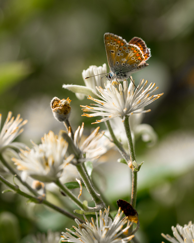 Brown Argus (Aricia agestis) - Lynchcombe, Somerset, UK. ID 823_2605