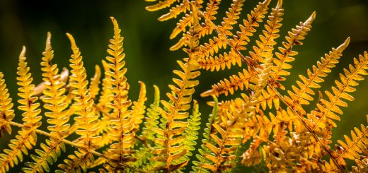 Autumn Bracken - Lynchcombe, Somerset, UK. ID 823_2615