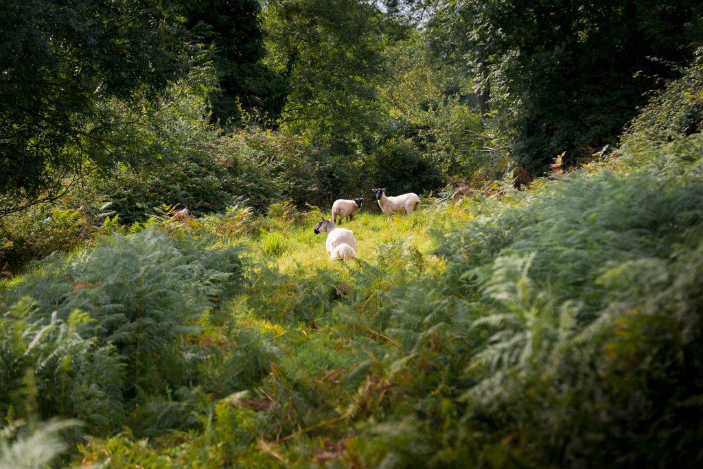 Sheep passing through - Lynchcombe, Somerset, UK. ID 823_2863
