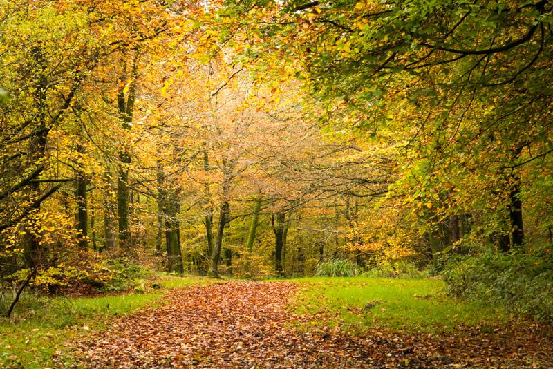 Autumn Path - Beacon Hill Woods, Somerset, UK. ID 805_0339