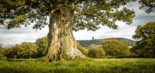 Oak and Tower - South Brewham, Somerset, UK. ID 823_5102