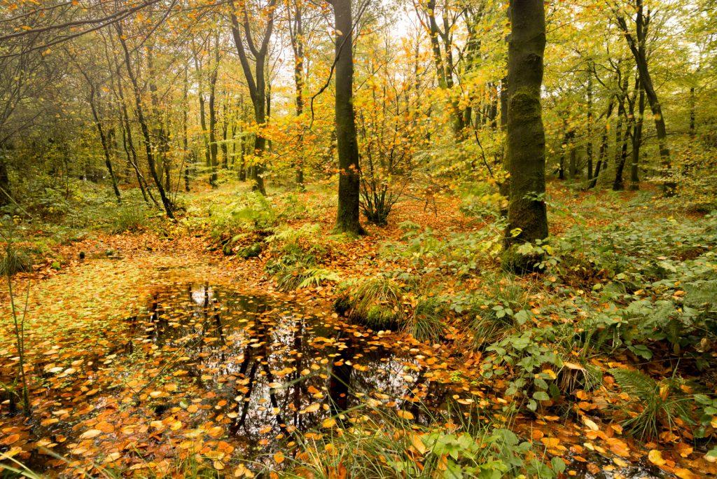 Start of Autumn - Beacon Hill Woods, Somerset, UK. ID 823_5150