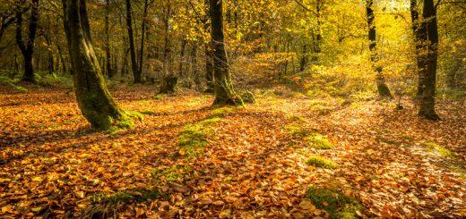 Autumn Light - Beacon Hill Woods, Somerset, UK. ID 823_6016