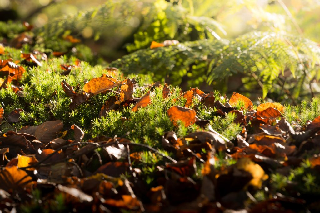 Beech Leaves and Moss - Beacon Hill Woods, Somerset, UK. ID 823_6020