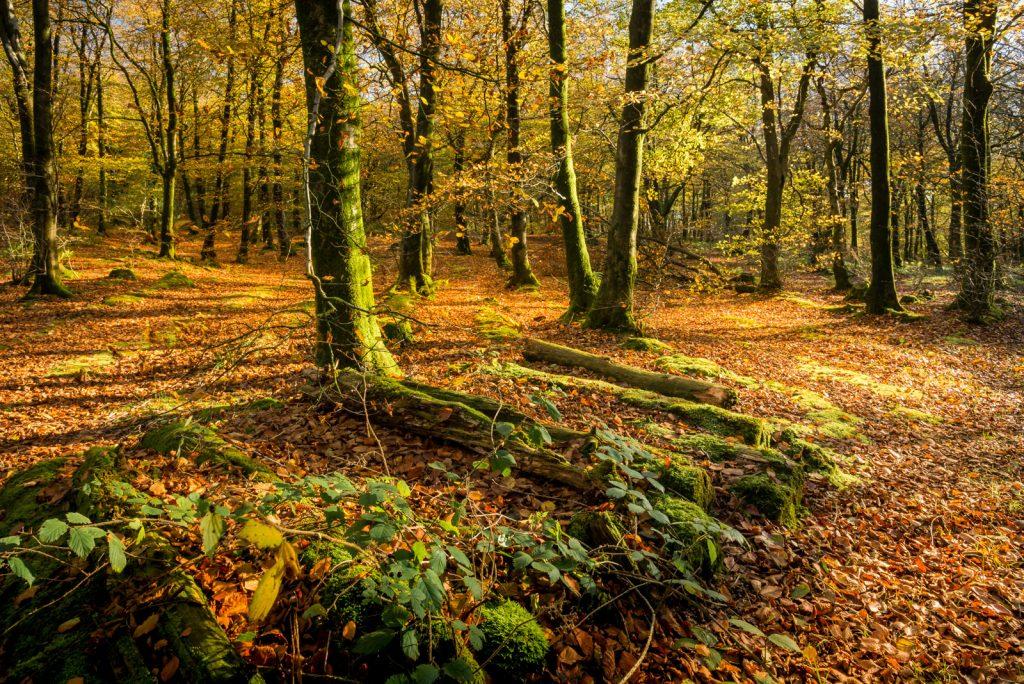 Autumn - Beacon Hill Woods, Somerset, UK. ID 823_6365
