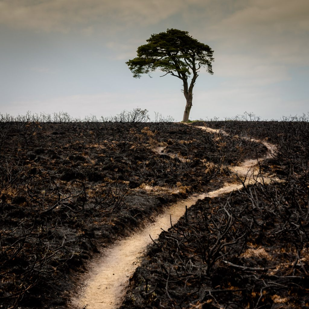 The Priddy Tree survives the fire - Mendip Hills, Somerset, UK. ID JB5_4835