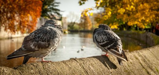 Pigeons - Bishop's Palace, Wells, Somerset, UK. ID JBA_1457