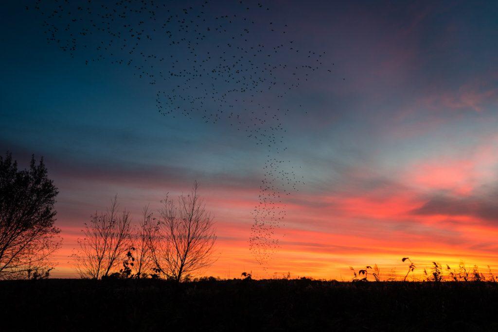 Starling Murmuration - Waltons Heath, Ham Wall, Somerset, UK. ID 823_0101