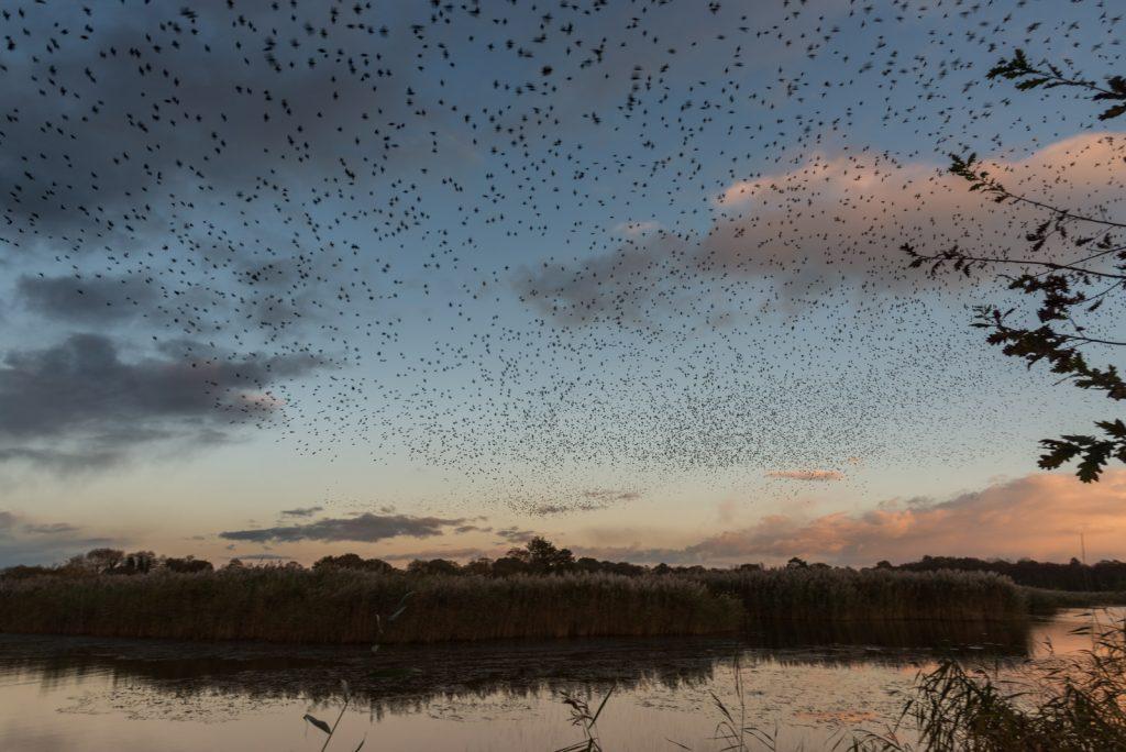 Starling Murmuration - Loxtons Marsh, Ham Wall, Somerset, UK. ID 823_7227