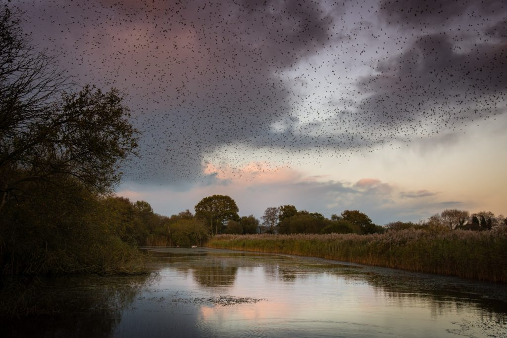 Starling Murmuration - Loxtons Marsh, Ham Wall, Somerset, UK. ID 823_7241