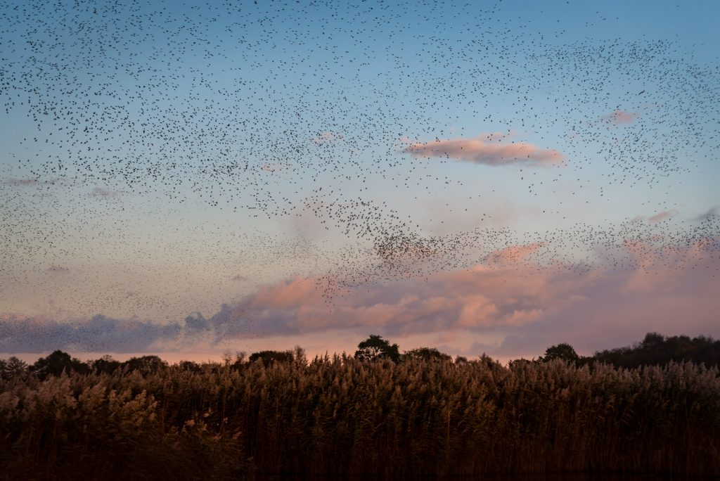 Starling Murmuration - Loxtons Marsh, Ham Wall, Somerset, UK. ID 823_7289
