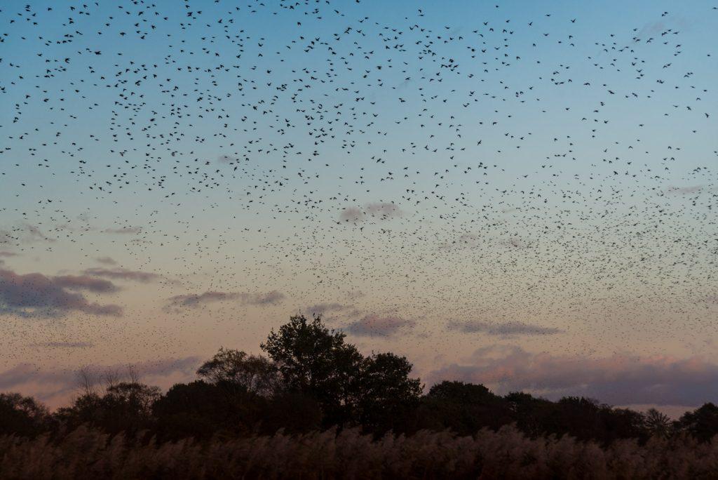 Starling Murmuration - Loxtons Marsh, Ham Wall, Somerset, UK. ID 823_7302