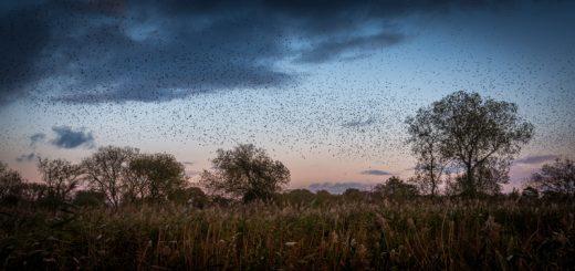 Starling Murmuration - Loxtons Marsh, Ham Wall, Somerset, UK. ID 823_7452