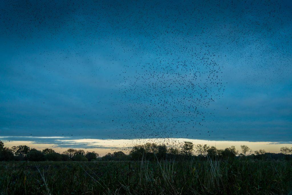 Starling Murmuration - Loxtons Marsh, Ham Wall, Somerset, UK. ID 823_7868