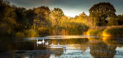 The swan Family go for a swim - Loxtons Marsh, Ham Wall, Somerset, UK. ID 823_8181