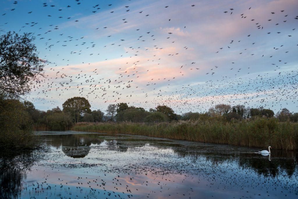 Starling Murmuration - Loxtons Marsh, Ham Wall, Somerset, UK. ID 823_8339