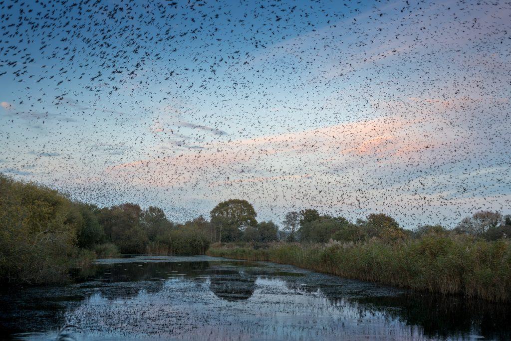 Starling Murmuration - Loxtons Marsh, Ham Wall, Somerset, UK. ID 823_8455