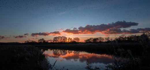 Starling Murmuration - Loxtons Marsh, Ham Wall, Somerset, UK. ID 823_9260