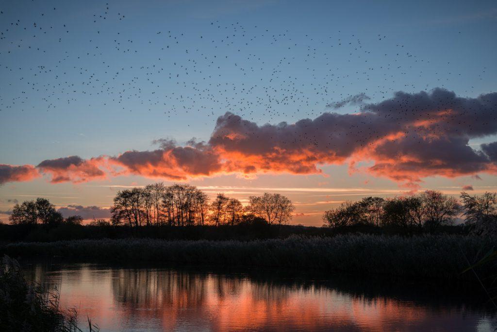 Starling Murmuration - Loxtons Marsh, Ham Wall, Somerset, UK. ID 823_9331