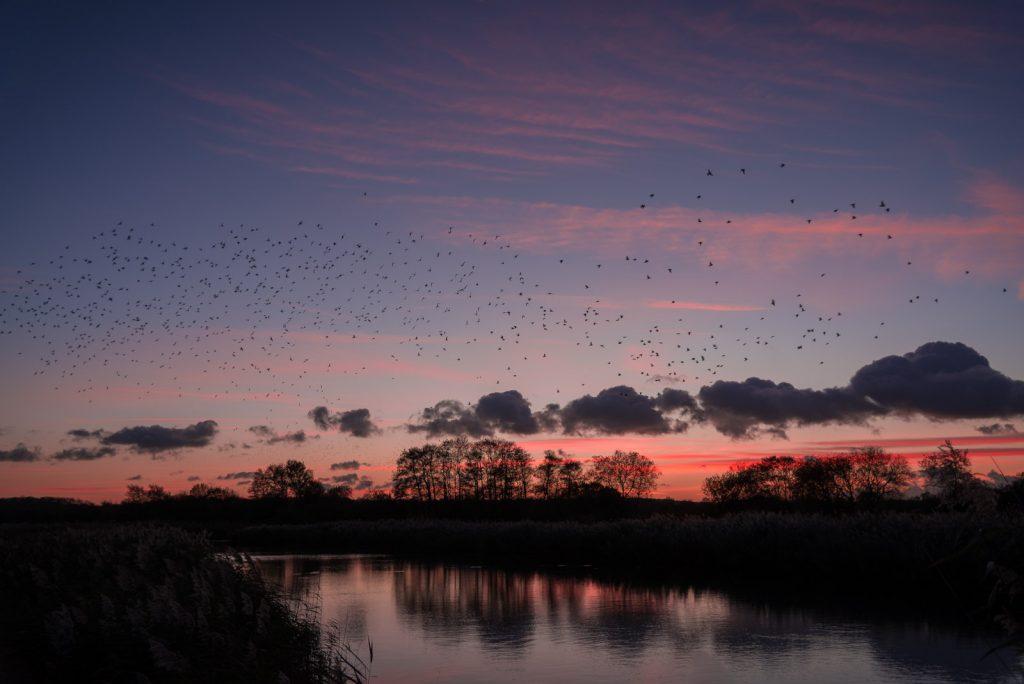 Starling Murmuration - Loxtons Marsh, Ham Wall, Somerset, UK. ID 823_9779