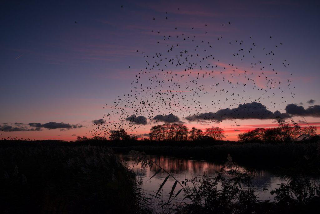 Starling Murmuration - Loxtons Marsh, Ham Wall, Somerset, UK. ID 823_9805