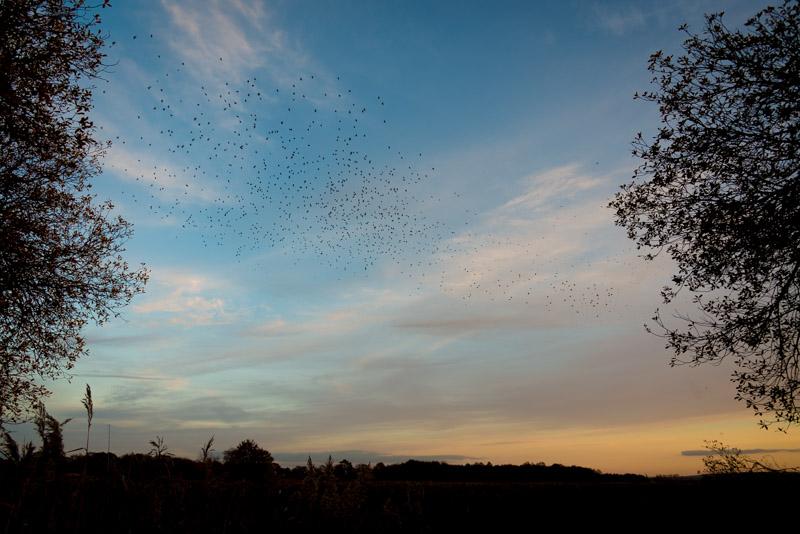 Starling Murmuration - Loxtons Marsh, Ham Wall, Somerset, UK. ID 823_9845