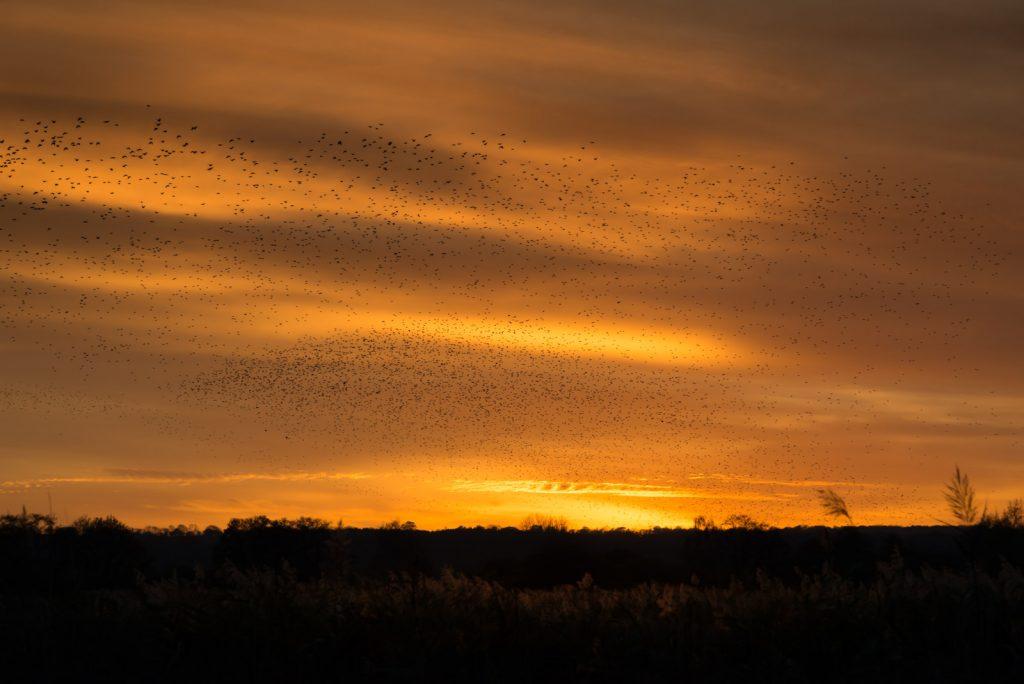Starling Murmuration - Waltons Heath, Ham Wall, Somerset, UK. ID 823_9990