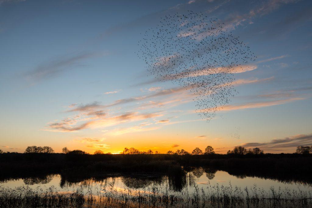 Starling Murmurations - Waltons Heath, Ham Wall, Somerset, UK. ID 824_0279