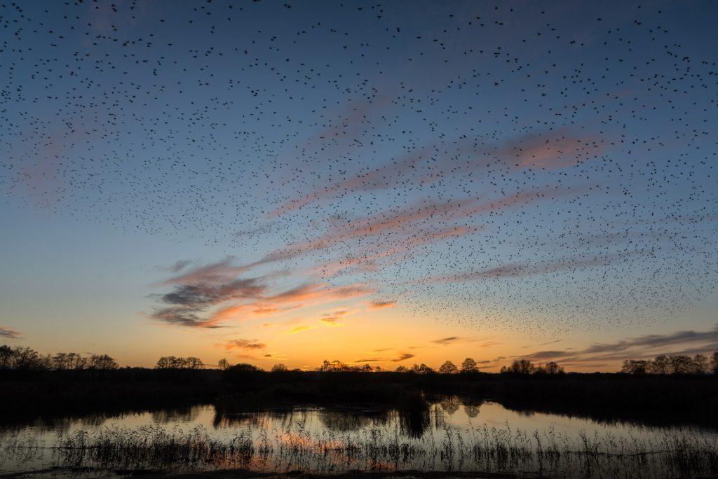 Starling Murmurations - Waltons Heath, Ham Wall, Somerset, UK. ID 824_0484