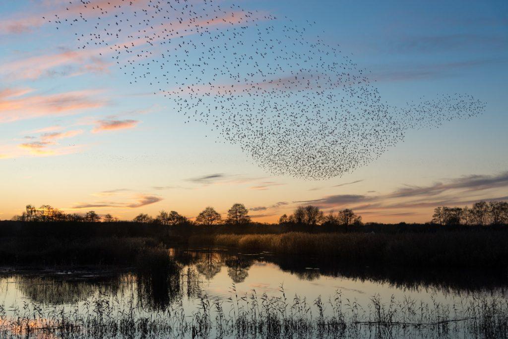 Starling Murmurations - Waltons Heath, Ham Wall, Somerset, UK. ID 824_0504