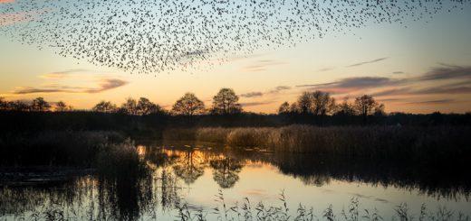 Starling Murmurations - Waltons Heath, Ham Wall, Somerset, UK. ID 824_0518