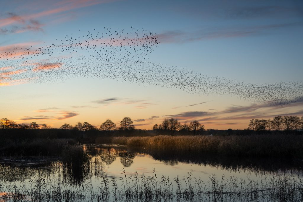 Starling Murmurations - Waltons Heath, Ham Wall, Somerset, UK. ID 824_0551