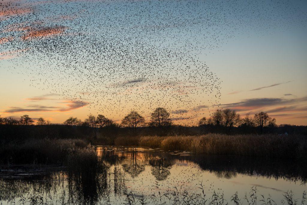 Starling Murmurations - Waltons Heath, Ham Wall, Somerset, UK. ID 824_0589