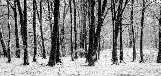 Winter Trees - Stockhill Wood, Somerset, UK. ID 824_2196