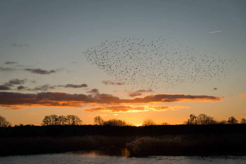 Starlings - Waltons Heath, Ham Wall, Somerset, Uk. ID 824_2433