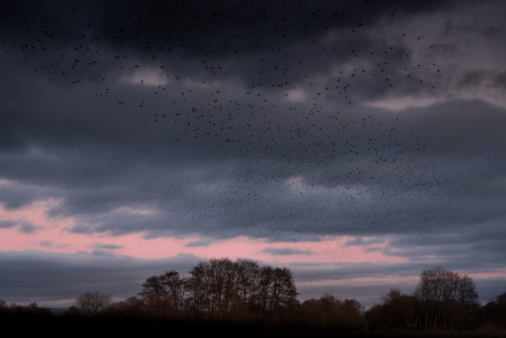 Starlings - Waltons Heath, Ham Wall, Somerset, Uk. ID 824_2447