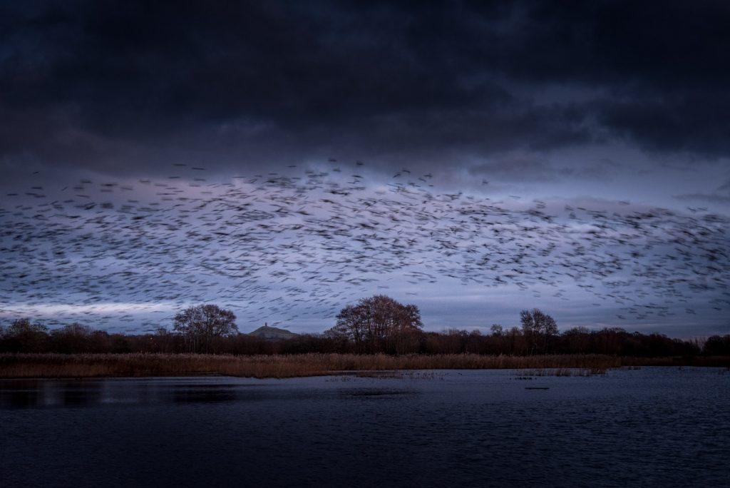 Starlings - Waltons Heath, Ham Wall, Somerset, Uk. ID 824_2648