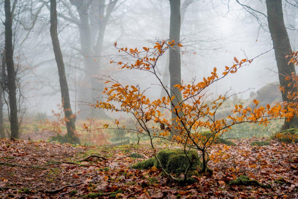 Mist - Beacon Hill Wood, Somerset, UK. ID 824_3199