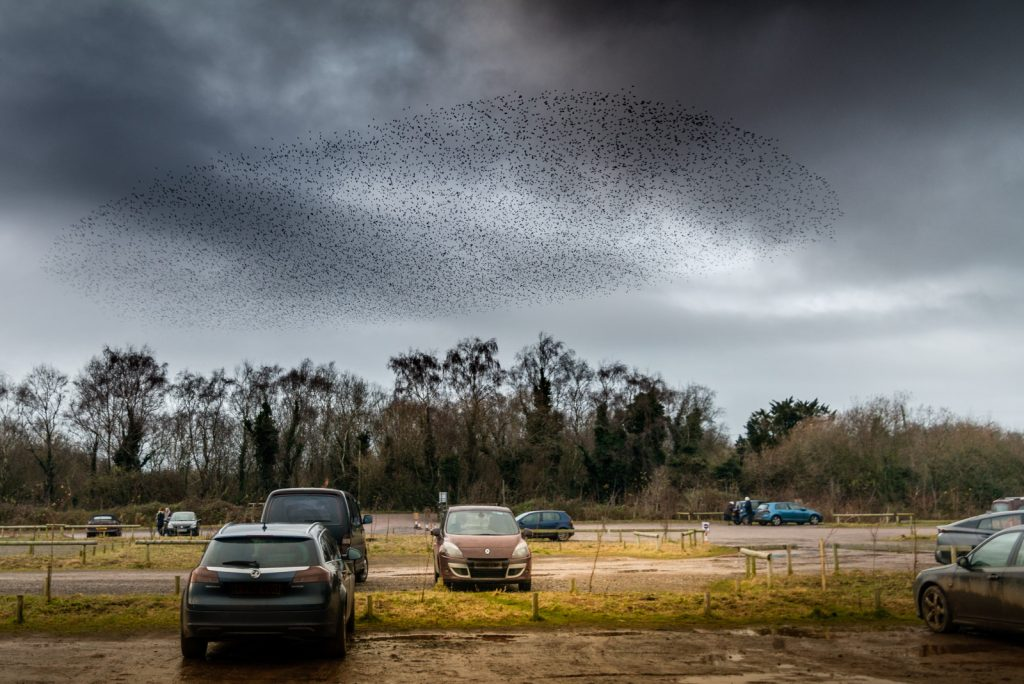 Starlings from a car park - Ham Wall, Somerset, UK. ID 824_3311