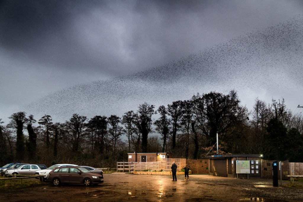 Starlings from a car park - Ham Wall, Somerset, UK. ID 824_3378