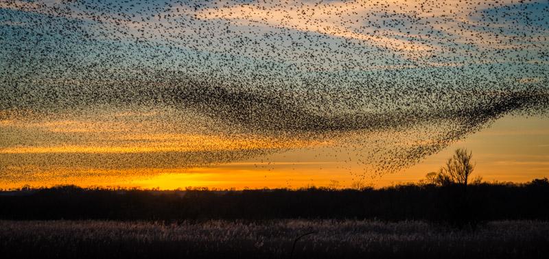 Large flock of starlings