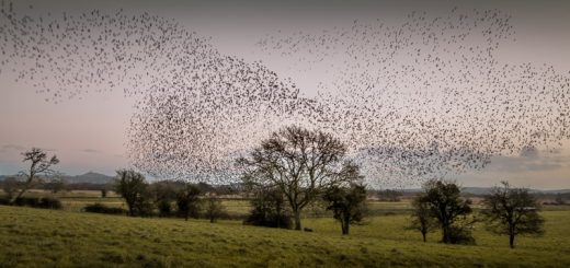 Starlings at Stileway Farm - Nr Meare, Somerset, UK. ID 824_4477