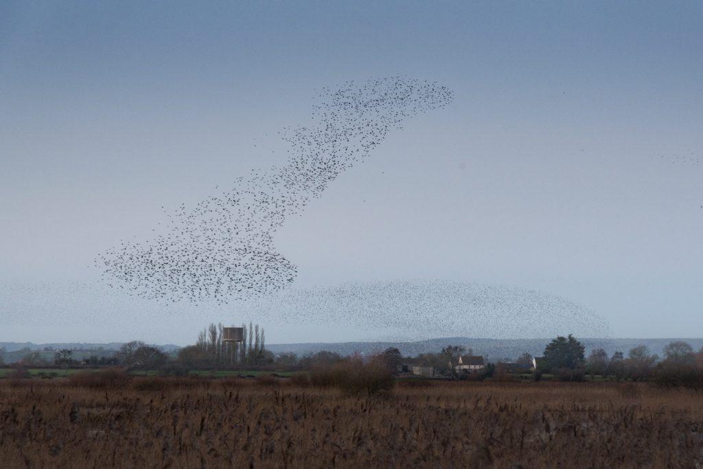 Starlings at Wilderness Drove - Ham Wall, Somerset, UK. ID 824_5951