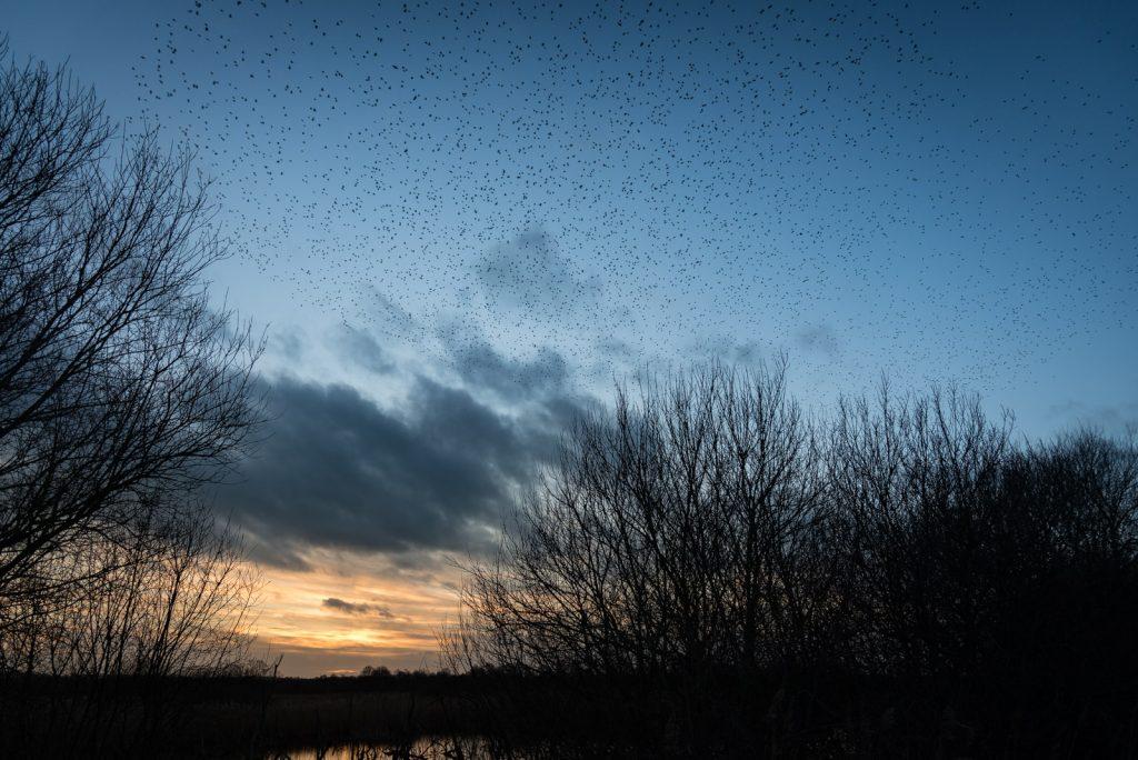 Starling Murmuration - Canada Farm, Somerset, UK. ID 824_6931