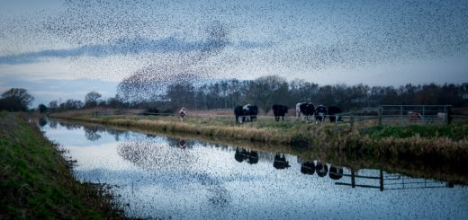 Starling Murmuration - Westhay Heath, Somerset, UK. id 824_7100