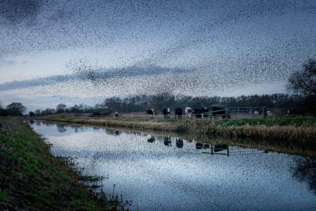 Starling Murmuration - Westhay Heath, Somerset, UK. id 824_7156