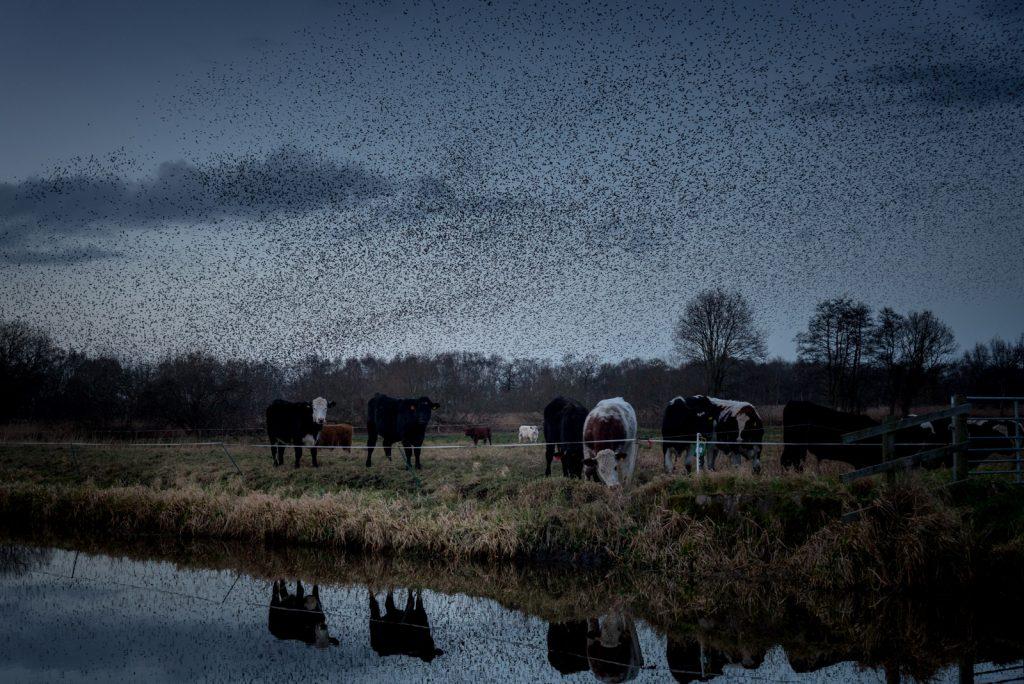 Starling Murmuration - Westhay Heath, Somerset, UK. id 824_7259